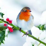 Robin in the Snow-0